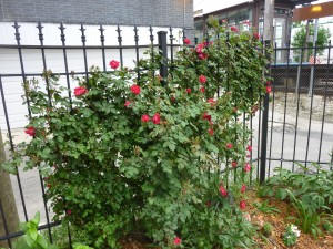 Rose bush before pruning