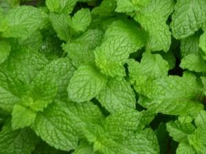 Sweet Mint 2